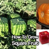 How To Grow Square Fruit - Imagine growing perfectly square fruit. It is a great conversation starter and it is unique and interesting as well. It is really easy to do but you need to get on this before your fruit gets too big.
