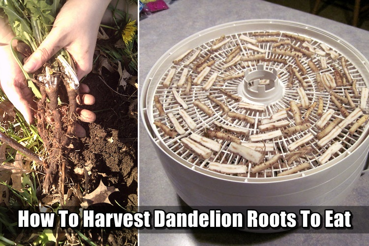 How To Harvest Dandelion Roots To Eat - Some call these weeds, others think that are a pest of the garden world. Before I started prepping and thinking outside of the box, I would have agreed. I will explain why these dandelions could literally save your life.