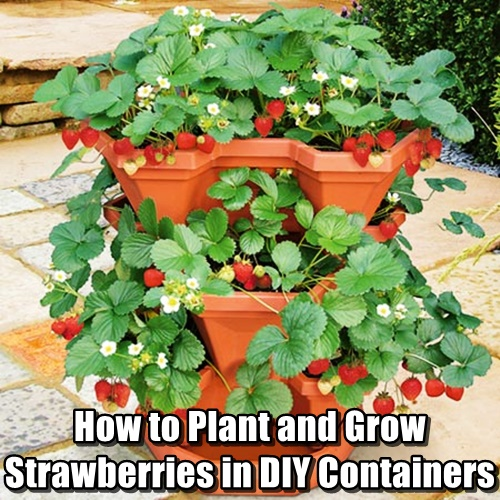 How To Plant And Grow Strawberries In Diy Containers