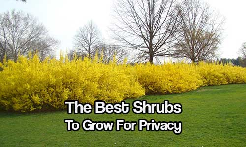The Best Shrubs To Grow For Privacy - If you live a little too close to your neighbor and you are on a tight budget or don't want a 6 foot plain old fence, there are many other options available for you in the form of privacy shrubs.