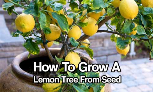 how to grow a lemon tree from seed shtf prepping