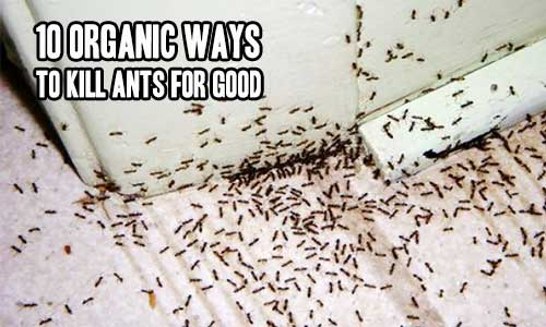 10 Organic Ways To Kill Ants For Good - It's that time of year again folks. Ants are everywhere. At least they are in my area. I normally use store bought bug killer to kill the ants but recently I have been opting for a more natural way to kill them.