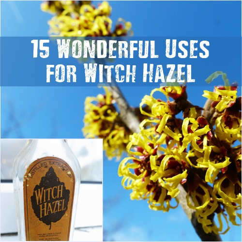 15 Wonderful Uses for Witch Hazel - 15 Wonderful Uses for Witch Hazel https://www.shtfpreparedness.com/15-wonderful-uses-witch-hazel/ These 15 awesome uses for witch hazel will make you want to grow it process it and stockpile it… Or is that just me. :) Most drug stores and online pharmacies carry witch hazel in one form or another but be sure to get 100% natural witch hazel.