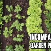 A Guide to Incompatible Garden Plants