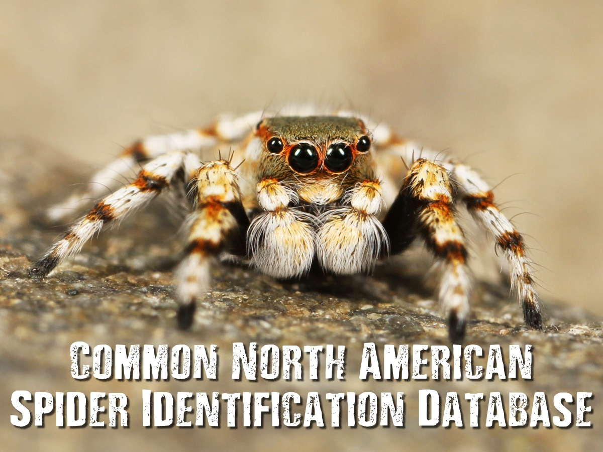 Common North American Spider Identification Database - Have you always wondered what type of spider is in your house or garden? Now you can check this database and ID any North American spider. A lot of info and pictures on each spider.