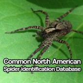 Common North American Spider identification Database