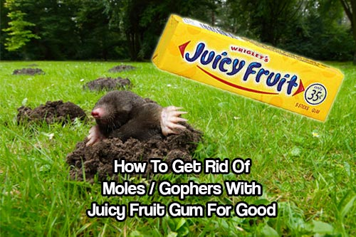 How To Get Rid of Moles / Gophers - There are multiple methods of ridding your lawn of moles. If you want to try an inexpensive method try chewing gum as your tool!