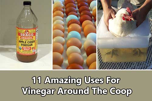 11 Amazing Uses For Vinegar Around The Coop - Chickens can give so much more than meat and eggs, they can make your homesteading life much more enjoyable.Check out these amazing uses for vinegar around the coop.