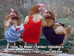 How To Make Chicken Sweaters To Protect Them Over Winter
