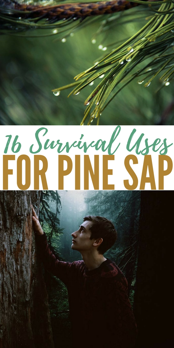16 Survival Uses For Pine Sap — Pine trees are found pretty much in every state and every country in the northern hemisphere. They can provide you with a delicious and very nutrient drink in the form of pine needle tea.