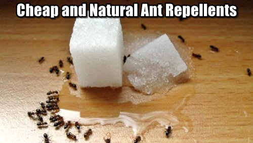 Cheap and Natural Ant Repellents