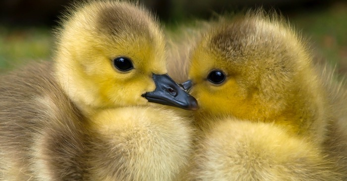 10 Reasons Why Raising Ducks Might Be Better Than Chickens - list