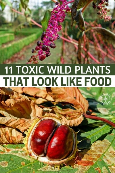 11 Toxic Wild Plants That Look Like Food - When it comes to wild edibles, the only real way that you can be sure the plant is edible is studying and becoming familiar with the types of plants, there are toxic plants that look like regular wild edibles you could get mixed up and die! Learn about the toxic plants today.