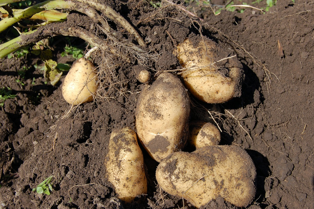 Planting Potatoes In The Ground How To Grow