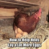 How to Help Hens Lay a Lot More Eggs