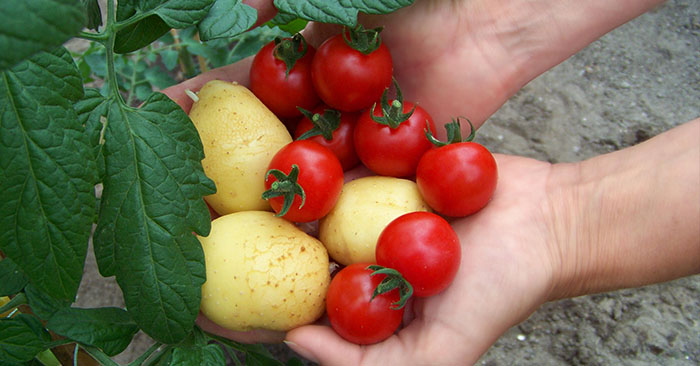 How To Grow Tomatoes And Potatoes On One Plant - I knew you could do this with certain trees and bushes, but not food. This post has made spring become more interesting. This process will save space and 1 plant 2 fruit is just pure awesome.