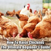 How To Raise Chickens - The Ultimate Beginner's Guide