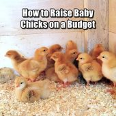 How to Raise Baby Chicks on a Budget