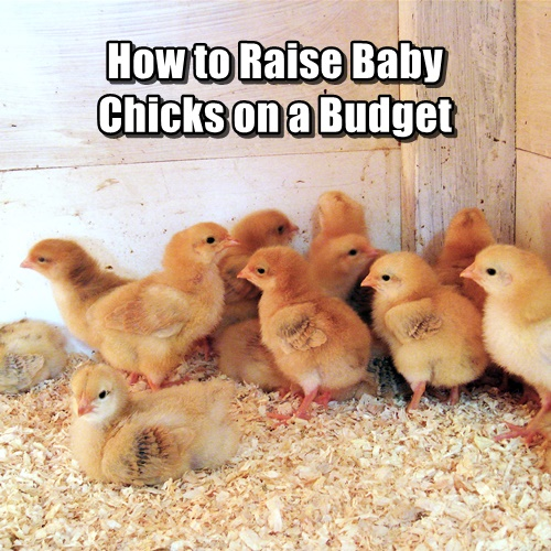 How to Raise Baby Chicks on a Budget - When you start out with baby chicks, you can easily raise a flock of birds that will provide you with eggs (and meat if that is your goal) for years to come. While it can be a little intimidating if you have never raised farm animals before, it's so easy that you'll be hooked.