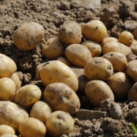 How To Grow Potatoes Off The Grid -Whenliving off the grid, potatoes should be a major storage crop grown in your garden. They're not difficult to grow, taste delicious, and are packed with energy. Keep in mind that there are tons of ways to learn how to grow potatoes (some of which are easier than others).
