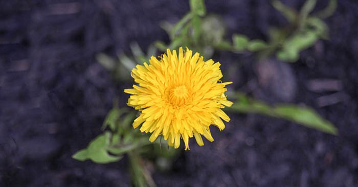 How To Make Dandelion Root Coffee - It grows in abundance all over the United States, but be careful to only harvest the root in unpolluted areas, dandelions like to come up just about anywhere and can tolerate polluted soils.