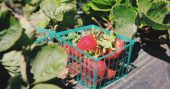 How to Plant and Grow Strawberries in DIY Containers - How to Plant and Grow Strawberries in Containers By: Darcy Logan 4.1k SharesPinterest2kFacebook1.4kGoogle+13TwitterStumbleUponReddit What You'll Need Light colored Strawberry pot or container Soil Strawberry plants PVC pipe and cap Drill Strawberries are one of the best plants to grow in containers, and they even do well indoors.