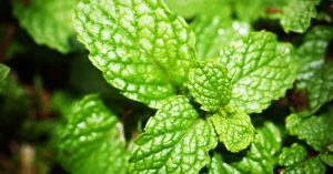 Why Peppermint Deserves A Place In Your Preparedness Garden - Peppermint has a host of medicinal uses that makes it incredibly useful to have around. One such use for it is to stop the itching and swelling from bug bites (just be careful not to apply too much so it won't cause skin irritation).
