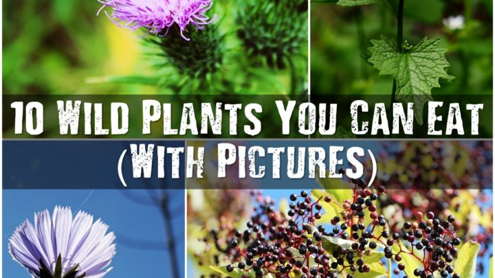 10 Wild Plants You Can Eat (With Pictures)