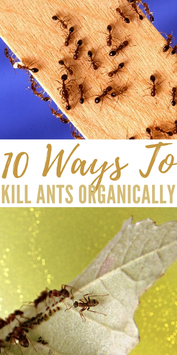 10 Ways To Kill Ants Organically - If you want to kill ants the safe way, organically, this is your post! Save lots of money at the same time too.
