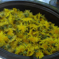 A Yummy Collection Of Dandelion Recipes To Try Out - There are a lot of benefits for incorporating dandelions into your diet.The health benefits of dandelion include relief from liver disorders, diabetes, urinary disorders, acne, jaundice, cancer and anemia. It also helps in maintaining bone health, skin care and is a benefit to weight loss programs.
