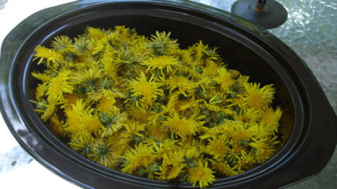 A Yummy Collection Of Dandelion Recipes To Try Out
