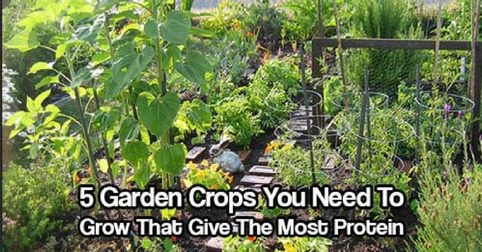 5 Garden Crops You Need To Grow That Give The Most Protein — Proteins have many different jobs within the body. The body uses proteins for energy. Protein is also used as an enzyme, which starts reactions within the body, including metabolism, and gene growth & repair.
