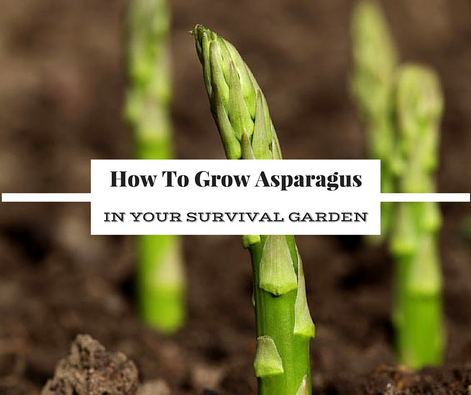 Best Place To Plant Asparagus: How To Grow Asparagus In Your Survival Garden