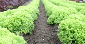 """Top 10 Veggies to Start Growing In June - The question comes up every single year, """"Am I to late too start a veggie garden in June?"""" There are still plenty of yummy veggies you can get planted now (in mid to late June) and get a nice harvest before the summer ends."""