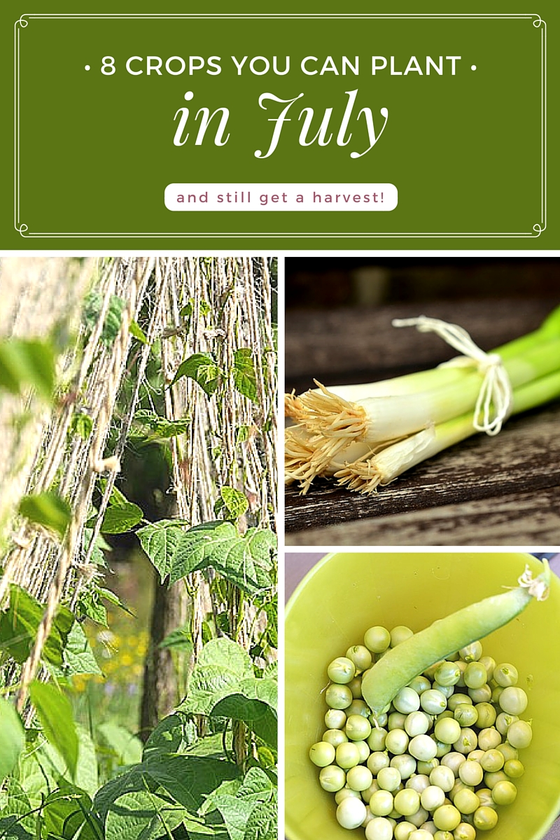 8 Crops You Can Plant in July (and still get a harvest!) - Planting may be the last thing on your mind, but believe it or not there are still a few warm season veggies that you can get planted in July that will make it to maturity before the frost comes.