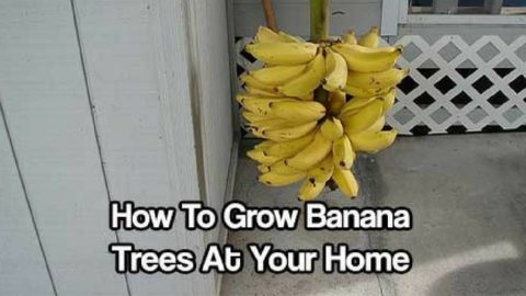 How To Grow Banana Trees At Your Home