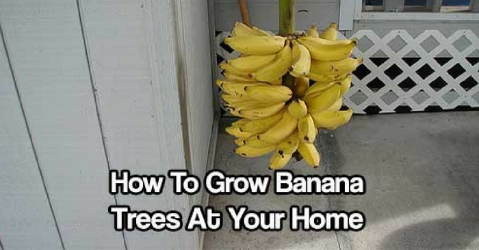 How To Grow Banana Trees At Your Home — Nothing says the tropics quite like the sight of a grove of banana trees. The good news is that these versatile and tasty fruit-bearing trees aren't exclusive to the tropics, although they do tend to grow best in warm and humid climates.
