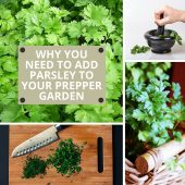 Why You Need to Add Parsley to Your Prepper Garden - There are many herbs that fall under two categories: spice and medicinal. What may surprise many people, even preppers, is that adding parsley to your garden is another way to get both from one plant!