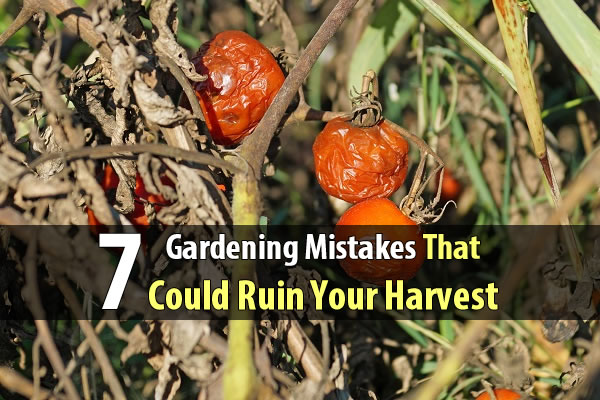 7 Gardening Mistakes That Could Ruin Your Harvest - Familiarize yourself with these mistakes now so you don't find yourself doing a postmortem on your plants a few months down the road. Believe me, a successful garden is worth a little more reading.
