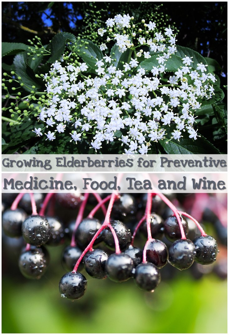 strong>-Elderberry<-/strong>- <-em>-Sambucus canadensis<-/em>-<-br />- This ...