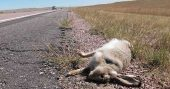 "All You Ever Need To Know About Eating Roadkill - Here are some animals that are considered ""safe"" to eat: Badger, hedgehog, otter, rabbit, pheasant, fox, beaver, squirrel, deer (venison), moose, bear, raccoon, opossum, kangaroo, wallaby, possum, rabbit, etc. Rats that are roadkill I would give a wide berth. You will find out why in the original article. EWW."