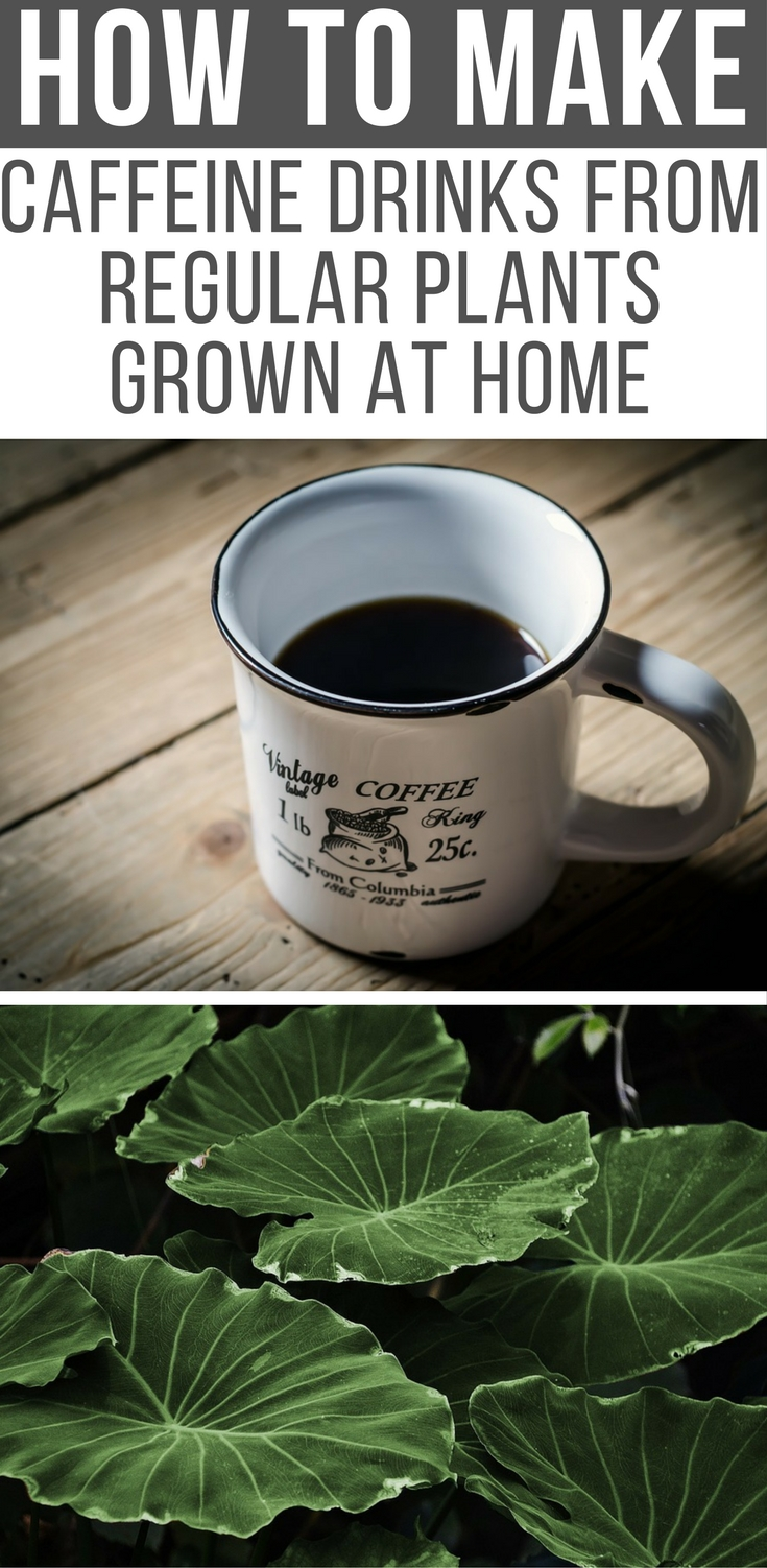 How To Make Caffeine Drinks From Regular Plants Grown At Home - this information could be used to your advantage in a survival situation as caffeine is proven to give you mental awareness and take the edge of a sleepy morning. Also you could make beverages for barter.