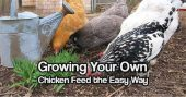 Growing Your Own Chicken Feed the Easy Way — If you are a chicken farmer, whether commercially or just a backyard flock, you know that good quality chicken feed is anything but inexpensive.