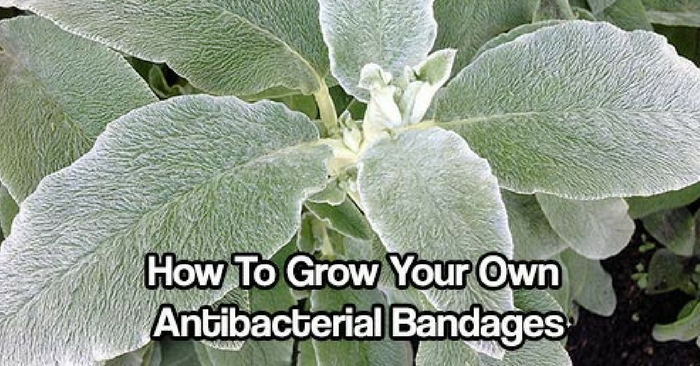 How To Grow Your Own Antibacterial Bandages — The whole plant is medicinal as an alternative, antibacterial, antipyretic, antiseptic, antispasmodic, astringent, carminative, diuretic, febrifuge, hypotensive, stomachic, styptic, tonic, vermifuge and vulnerary. A cold water infusion of the freshly chopped or dried and powdered leaves makes a refreshing beverage, while a weak infusion of the plant can be used as a medicinal eye wash for sties and pinkeye