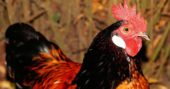 14 Common Chicken Predators and How to Protect Chickens - Other than diseases, predators are the biggest problem of every chicken owner. Being able to protect chickens from these predators can be tricky though.