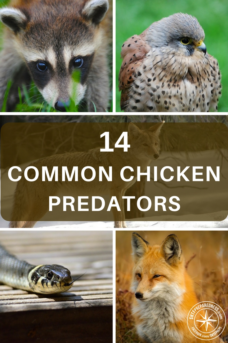14 Common Chicken Predators And How To Protect Chickens