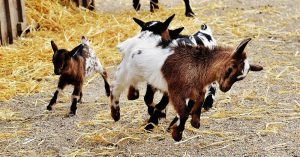 Best Goat Breeds For Your Homesteading Needs - Animals can be a key part of the homesteading lifestyle. And few animals are as versatile as the goat. But which breed of goat can become a tricky question. Your needs are what drives your decision.