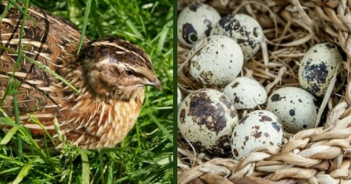Can't Have Chickens? Try Raising Quail! -- There are places where chickens are banned from being raised. Home Owner's associations are a prime example of places you can't raise chickens at all.
