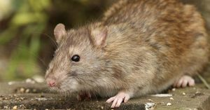 How And Why To Eat Rat Meat - Recipes for the Post-Apocalypse: How and why to eat rat meat