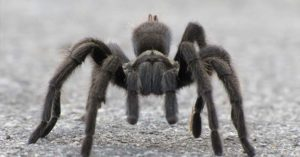 How To Identify Spider Bites And Treat them - The hobo spider likes it out west. The black widow has been found in every state except Alaska. Please always seek professional help from a licensed practitioner if you suspect you have been bitten by a spider.